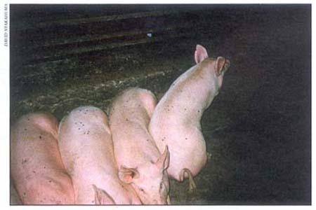 X8060E05_聯合國豬